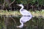 0228 Grey heron