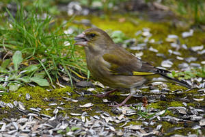 6770 Greenfinch on the ground by RealMantis