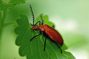 0146 Red Beetle by RealMantis