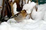 4850 Chaffinch in the snow