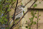 6268 Sparrow