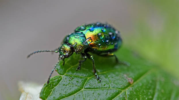 0542 Colorful beetle under the rain