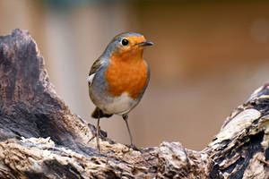 0548 The Robin by RealMantis