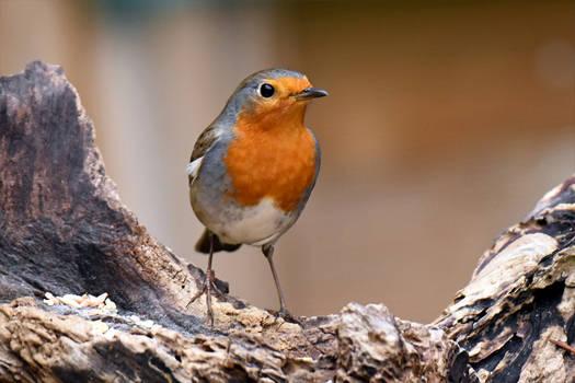 0548 The Robin