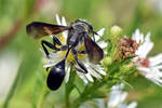 0370 Grass-carrying wasp