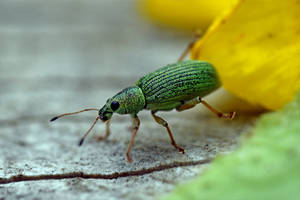 0542 Green Nettle Weevil by RealMantis