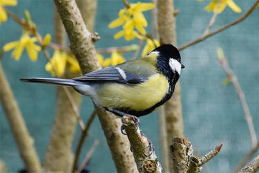 6235 Great Tit by RealMantis