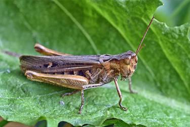 0143 Grasshopper by RealMantis