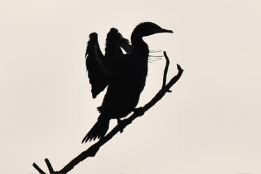 1002 Silhouette of a cormorant by RealMantis