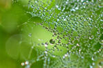 1391 Droplets on a spider's web