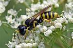 0188 European paper wasp