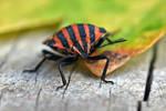 0963 Minstrel bug