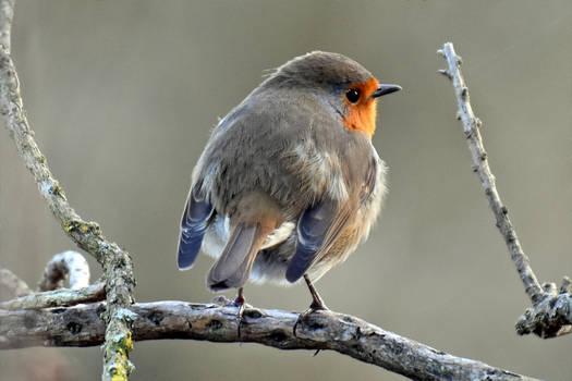 4419 The Robin