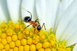 1674 Ant inside a daisy by RealMantis
