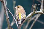 0361 Greenfinch