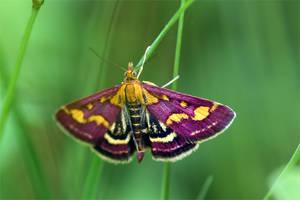 1397 Moth - Pyrausta purpuralis by RealMantis