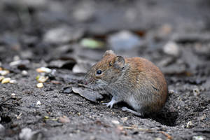 2499 Fieldmouse by RealMantis
