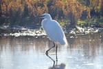 4231 Little Egret