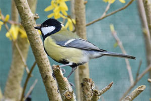 6242 Great Tit by RealMantis