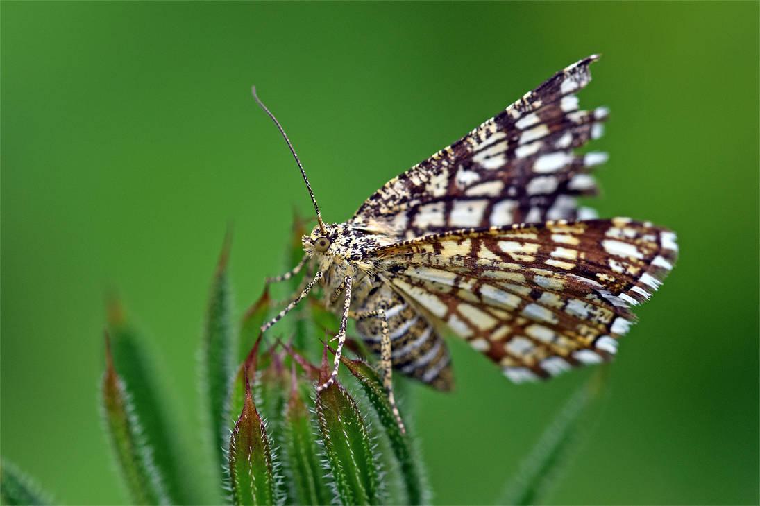 0093 Moth -  Chiasmia clathrata by RealMantis