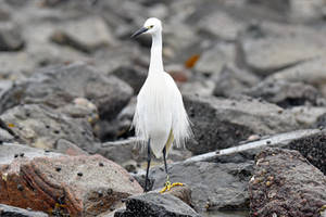 0221 Little Egret by RealMantis