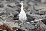 0221 Little Egret