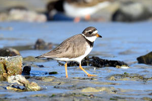 4251 Little Ringed Plover by RealMantis