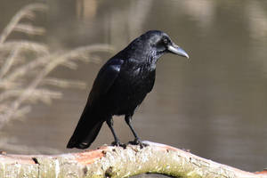 1196 Crow on a branch by RealMantis