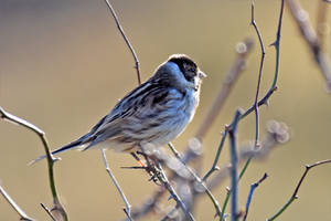 0137 Reed Bunting / Bruant des roseaux by RealMantis