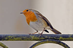 0729 The Robin by RealMantis