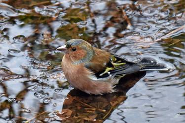 0794 Chaffinch at bath by RealMantis