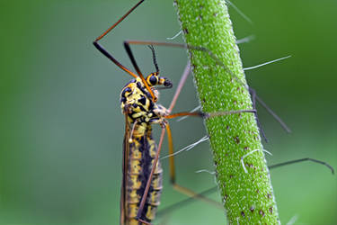 0140 Crane Fly / Tipule by RealMantis