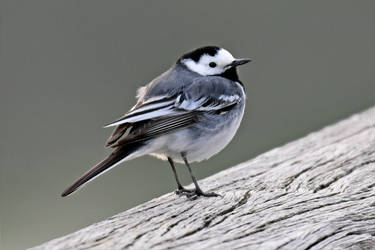 0002 Pied Wagtail / Bergeronnette grise by RealMantis