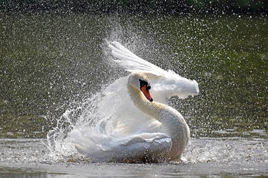 0618 The frolics of the swan by RealMantis