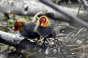 0316 Young coots by RealMantis