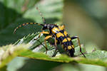 1551  Longhorn beetle - Rutpela maculata