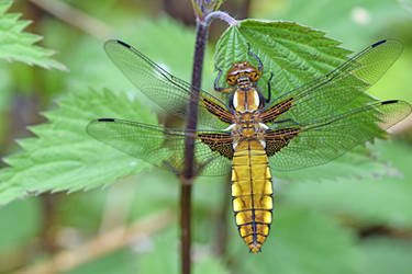 1469 Yellow dragonfly by RealMantis