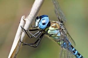 2447 Blue eye