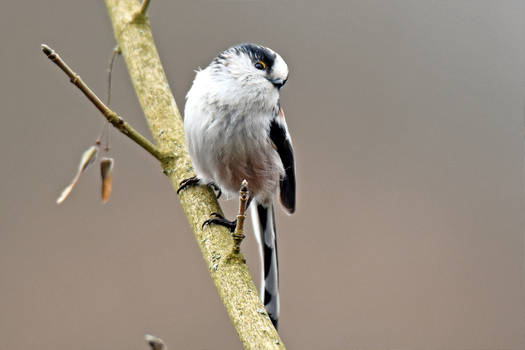 2645 Long-tailed tit