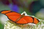 2439 Butterfly