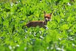 1418 Fox in a field II