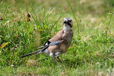 0984 Eurasian Jay in a field