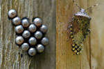 1907 Eggs of a Shield Bug