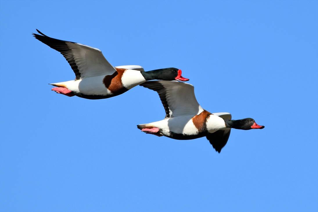0190 Common Shelduck in flight by RealMantis