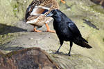 4668 The Crow