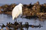 4714 Little Egret