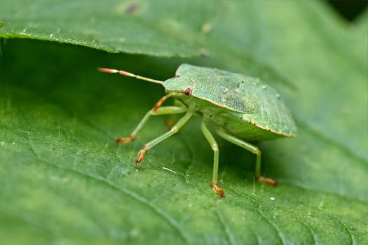 0241 Green shield bug