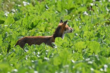 1425 Fox in a field by RealMantis