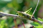 0346 Grasshopper