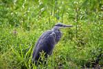 2459 Grey Heron near the river